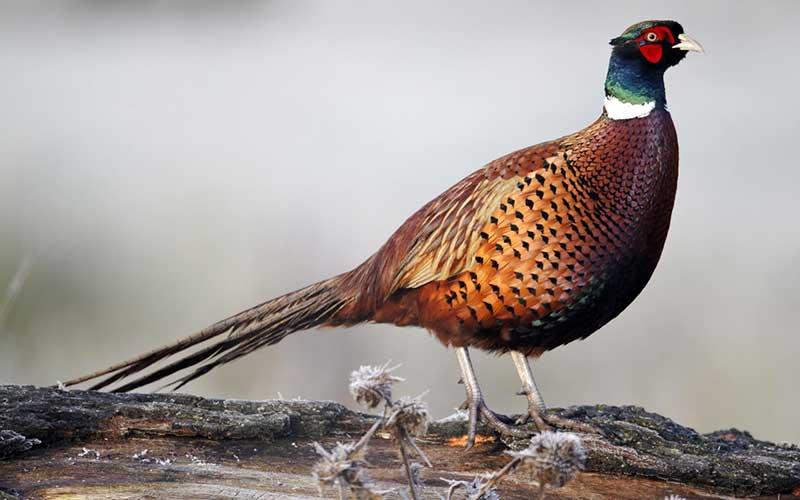 นกไก่ฟ้าหลากหลายสายพันธุ์มากความสวยงามไม่เหมือนใคร