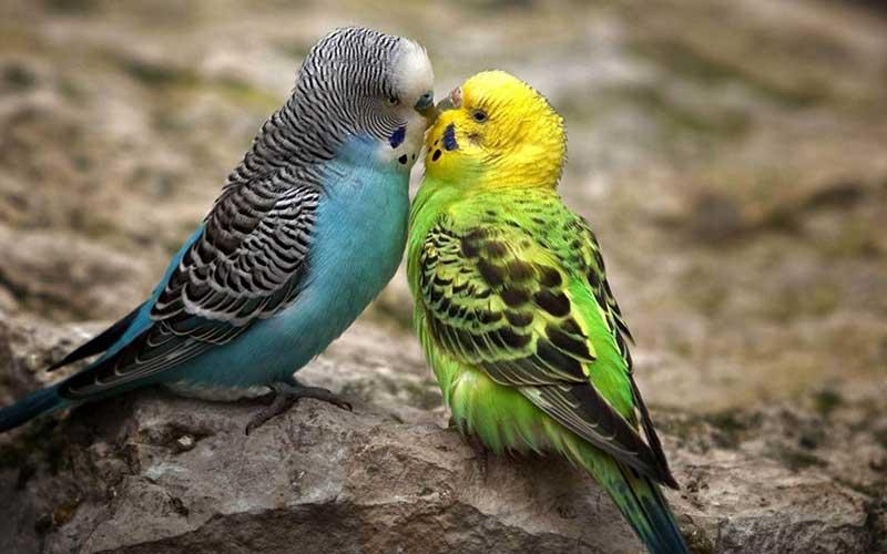 นกหงส์หยก นกสวยงามที่มีสีสันน่าหลงไหล