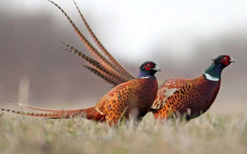 Birdpheasant-