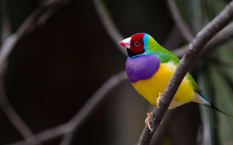 นกฟินช์นกหลากหลายสีในตัวเดียว