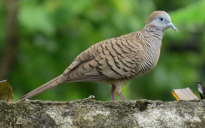 นกเขาชวานกที่มีเสียงร้องอันไพเราะดั่งเสียงของเวทมนตร์