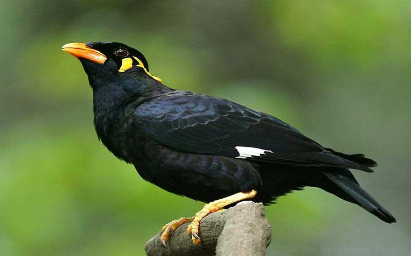 นกขุนทองเจ้าแห่งนกที่มีความร่าเริงอยู่ตลอดเวลา