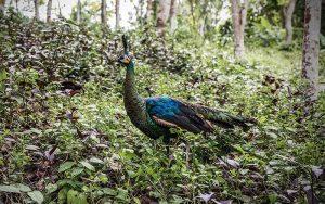 Peacock-
