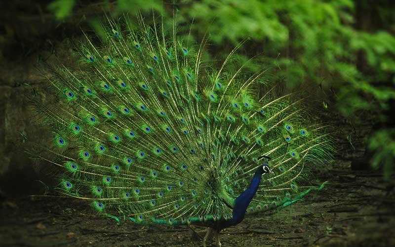 นกยูงนกสวยงามและสง่างามมากที่สุด