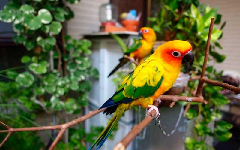 นกแก้วซันคอนัวร์นกที่มีความน่ารักและแสนรู้มาก