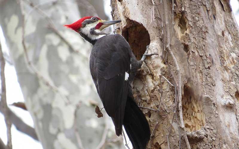 Woodpecker-