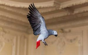 African-Gray-