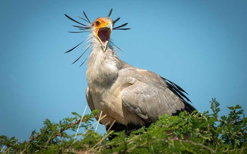 SECRETARY BIRD นกที่ได้รับฉายา นักล่าขนตางอน